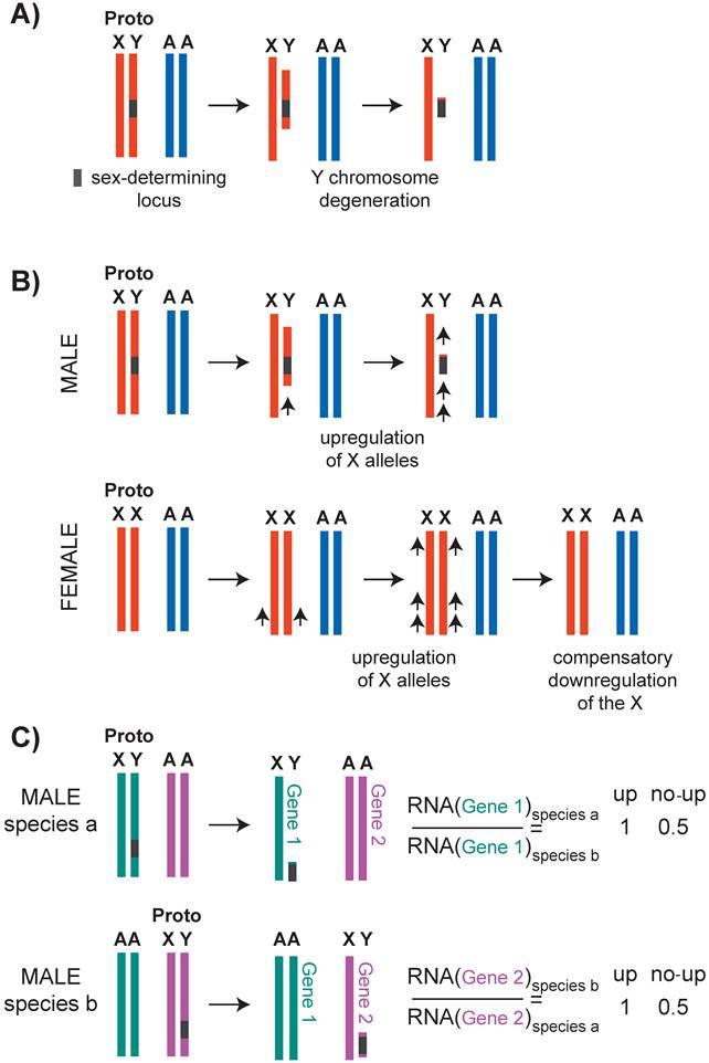 X Inactivation Mammals Mechanisms of X Chromo...